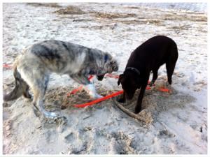 Finn und Labrador-Hündin Amy