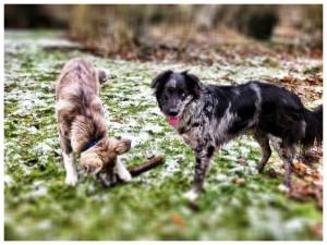 Finn und Australian Shepherd Hündin Blue