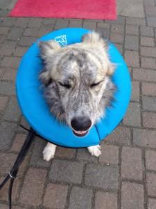Finn mit aufblasbarem Halskragen für Hunde als Leckschutz